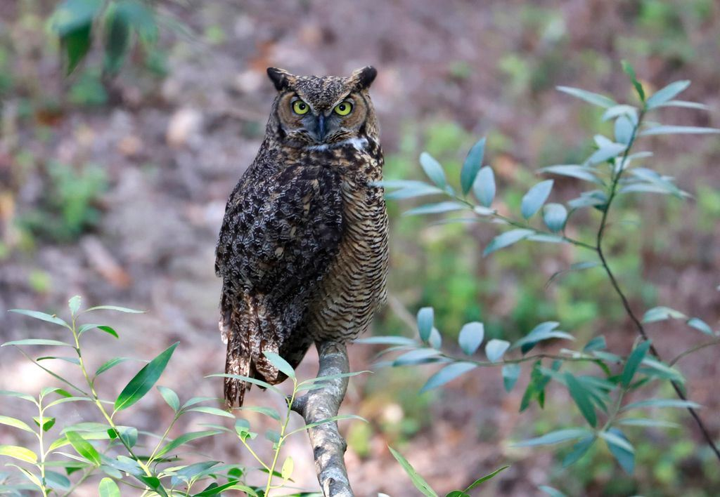 Watchful Owl Martin Canyon Creek Trail-Nature in Our Backyard Photo Contest